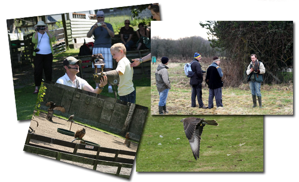 Welsh Hawking Centre Falconry Displays
